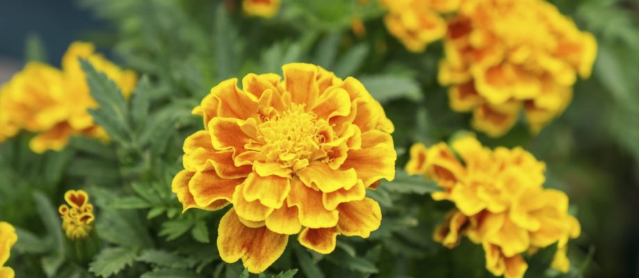 Importance of Certain Flowers in Greek and Hindu Mythology